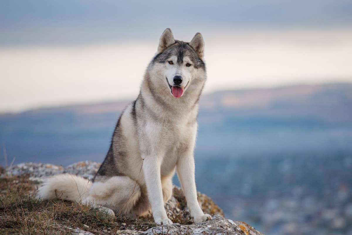 Husky Breed. Source: WideOpenPets